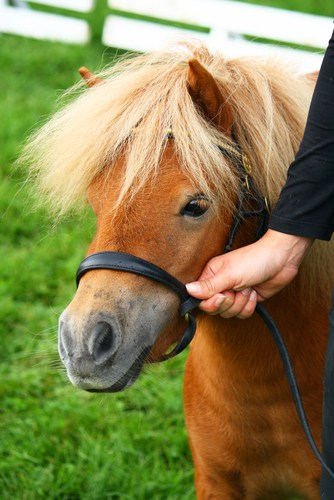 Miniature horse with person holding its reigns