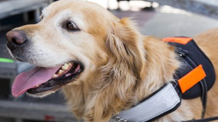 Letter Golden Retriever In Service Dog Vest Business Insider Why Fake Service And Emotional Support Animals Create Barriers For