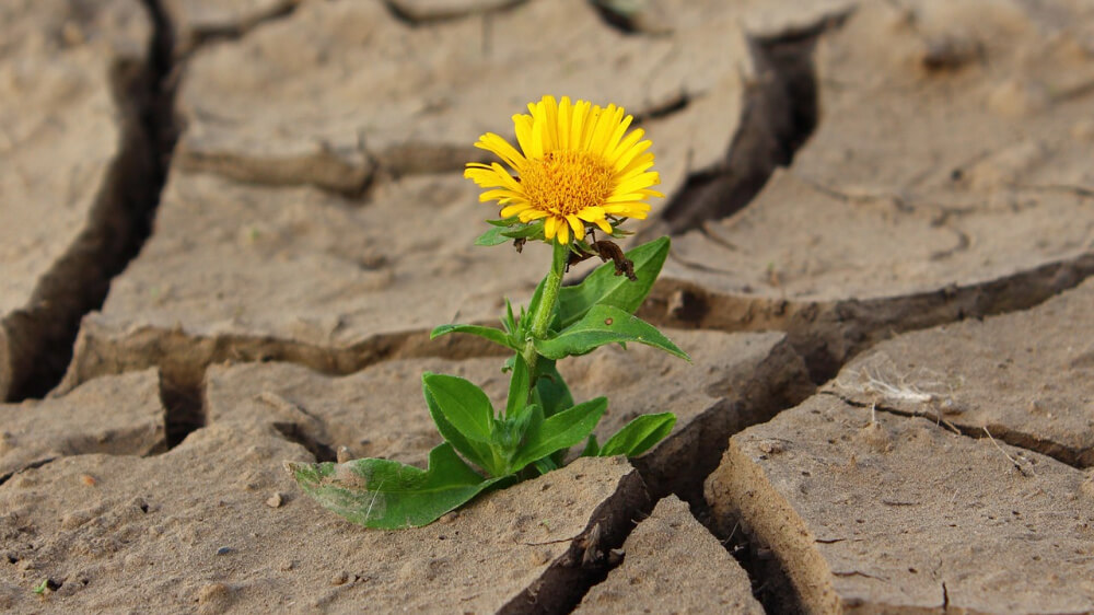 A photo of a yellow flower growing up through dry cracks in the ground.