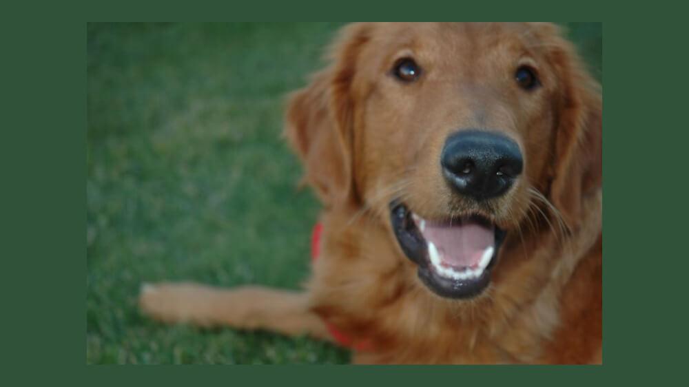 Photo of LIberty, a golden retriever